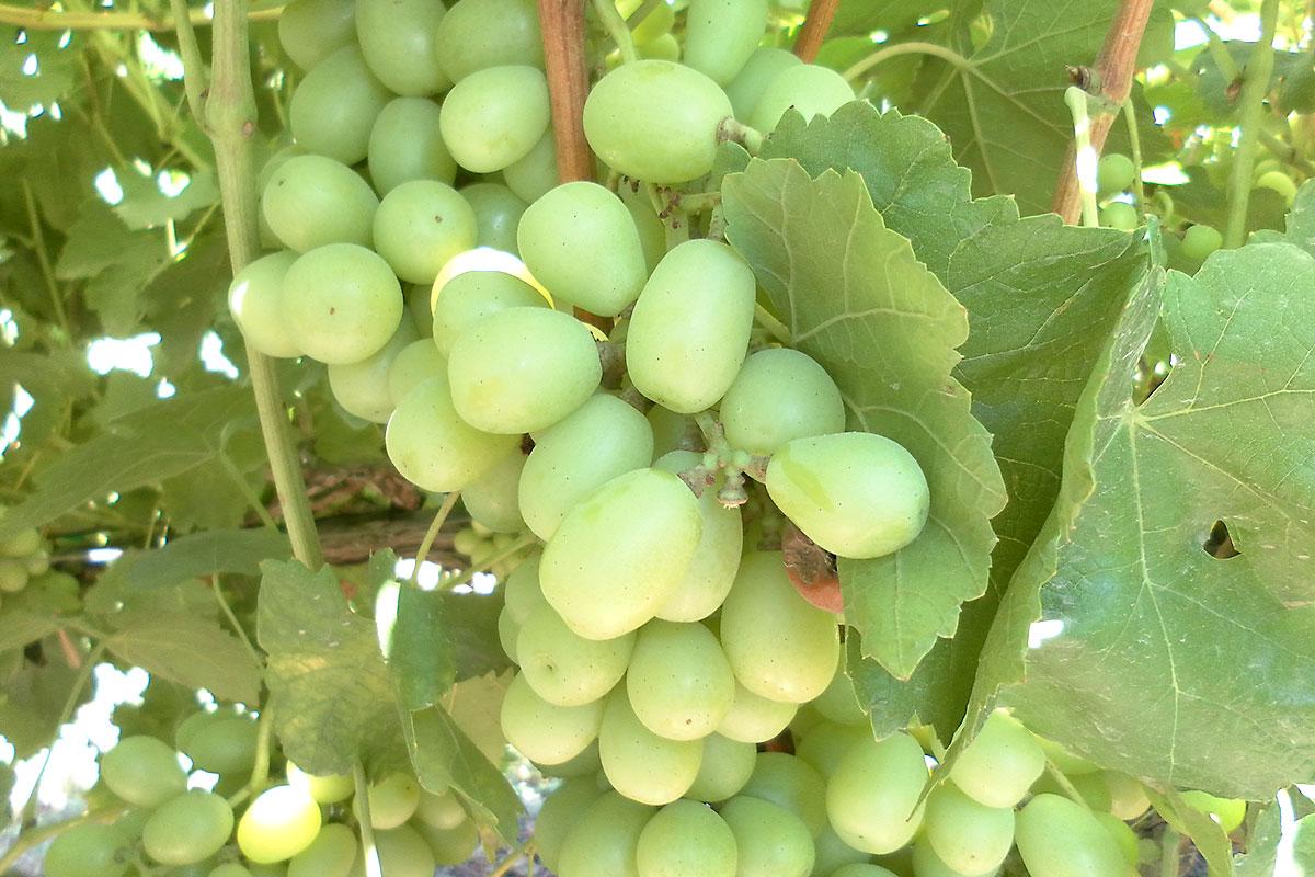 Green seedless grapes produce geek - Seedless grape cultivars ...