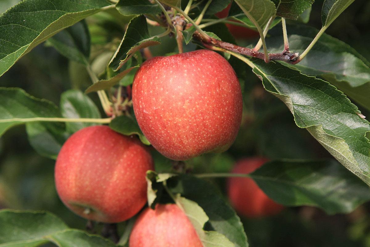 Gala Apples Produce Geek Watermelon Wallpaper Rainbow Find Free HD for Desktop [freshlhys.tk]