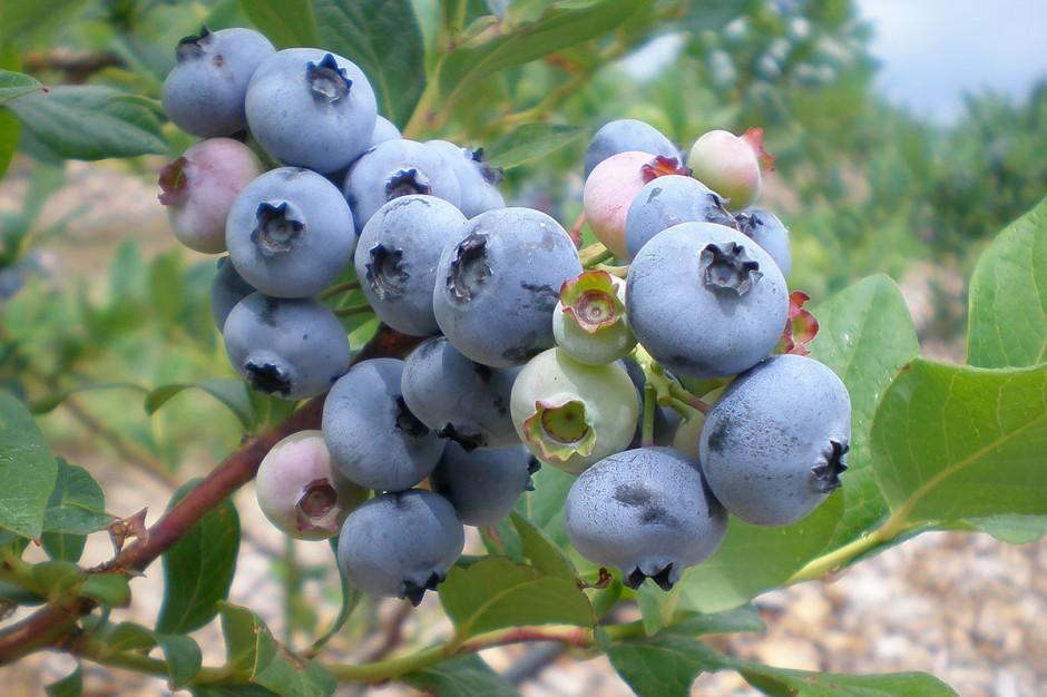 Organic Blueberries