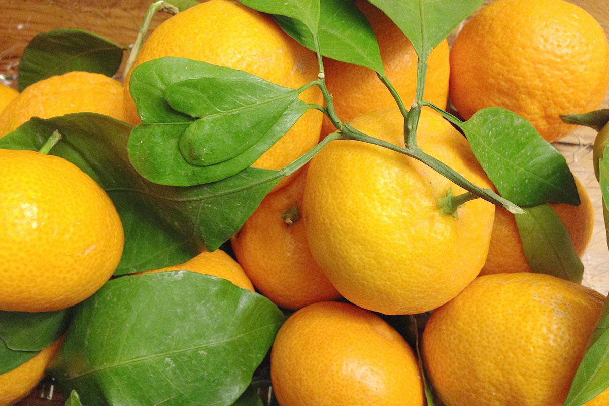 East Orange Focus >> Satsuma Mandarins   Produce Geek