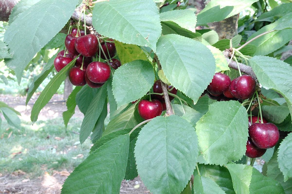 Dark Sweet Cherries | Produce Geek