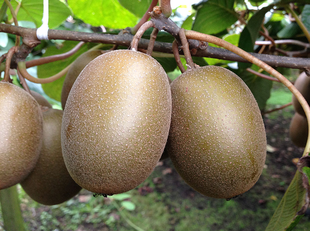 Sungold Kiwifruit